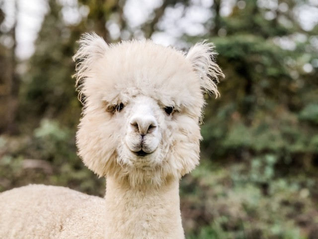Diego_The_Alpaca_2020