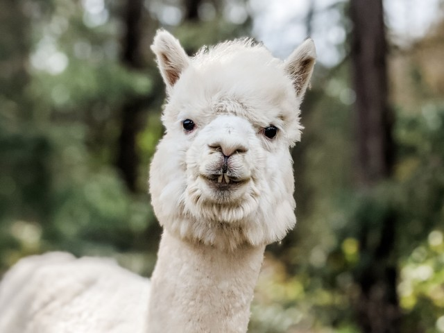 Jean_Pierre_The_Alpaca_2020