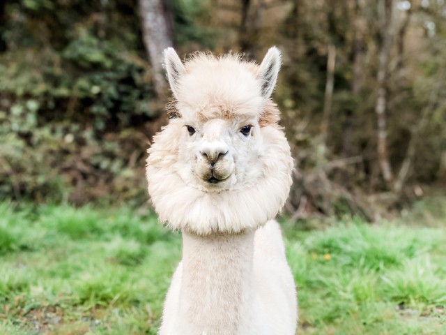 Napoleon_The_Alpaca_2020